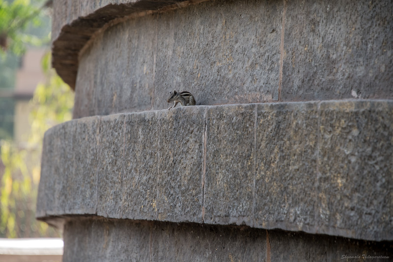 Squirrel of Sarnath