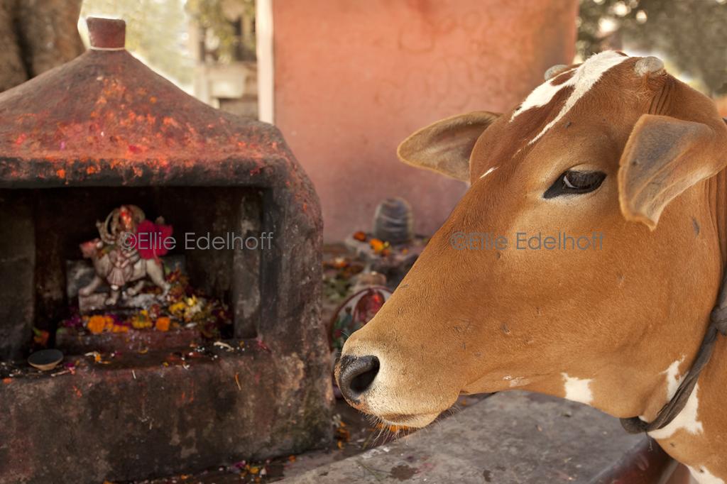Holy Cow! - Varanasi, India