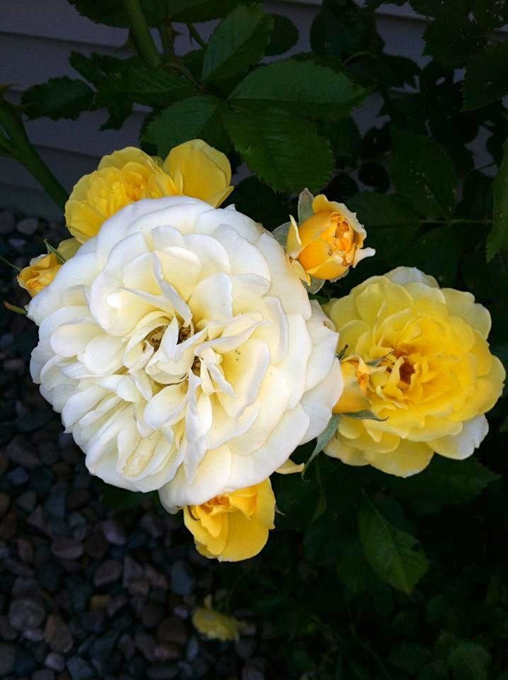 Yellow Rick Road Roses