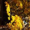 Golden Fall..Mt. Auburn Cemetary, Cambridge MA