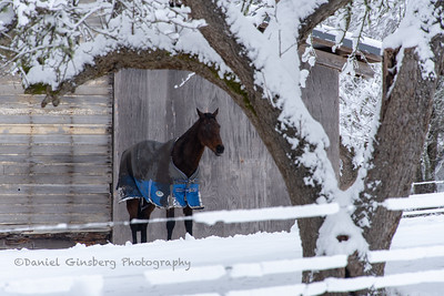 A dark colored horse stands next to an old house, framed by a snow covered tree.
