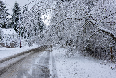 A fallen tree hangs over a road after a snowfall.