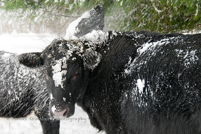 A snow covered black cow stares, while calf nibbles at a tree.