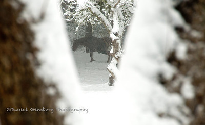A horse stands in the snow, bracketed by trees.