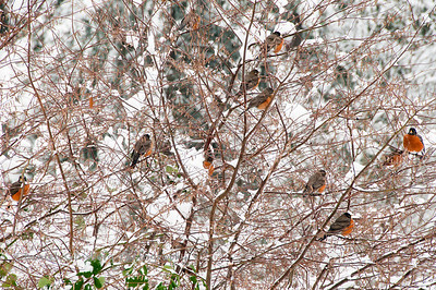 Red robins in a snow covered bush.