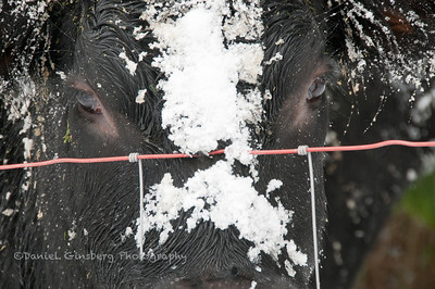 Covered in snow, a black cow looks through a fence.