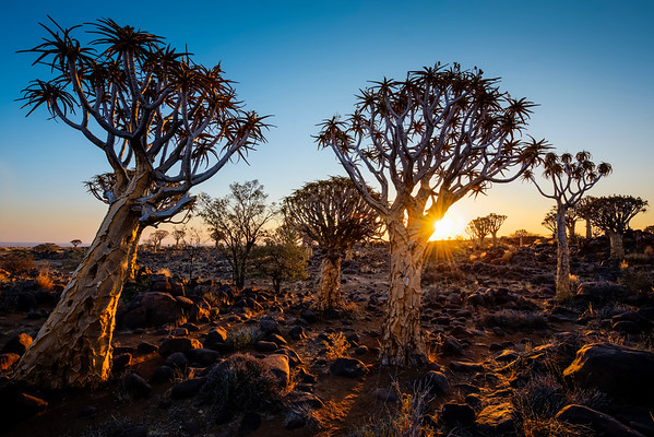 Sunset in the Quiver Tree Forest