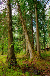 Cedars in the Ancient Forest