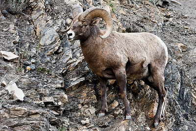 This photo of a bighorn ram has been digitally altered - through the use of photoshop filters.  It will print more like a poster than a standard photograph.