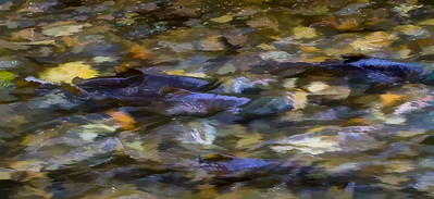 Artistic filters in photoshop applied to a photo of the salmon run at Goldstream Provincial Park in BC (November 2011)
