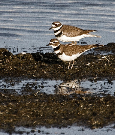 The Killdeer in spring.  This was taken with the 2x extender on my 100-400 lens, and some photoshop posterization has been added to sharpen the contrast around the edges.