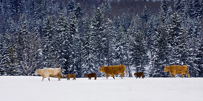 Western Welcome!!!  Several cattle were on the move through this fresh snow - many of the calves were obviously new-born.  What a way to start out in life.