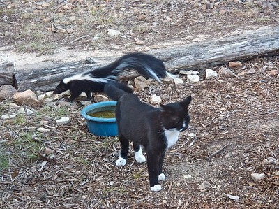Smudge wisely cedes the water bowl to the skunk