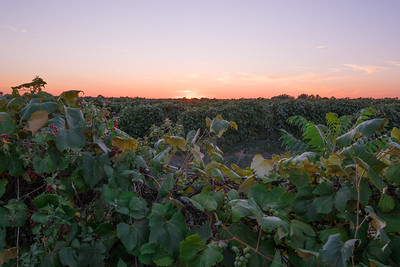Grape Vinyard At Sunset