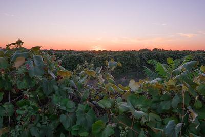 Grape Vinyard At Sunset
