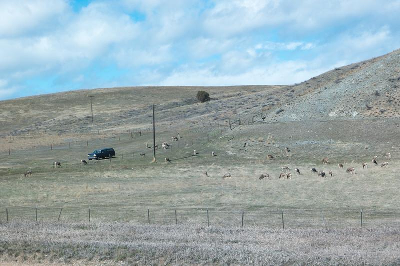 Montan Mule Deer Herd