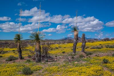 Yucca and BrittleBush Gold Poppies Arizona
