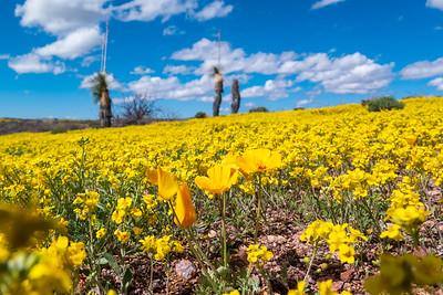 Yucca and BrittleBush & Gold Poppies Arizona