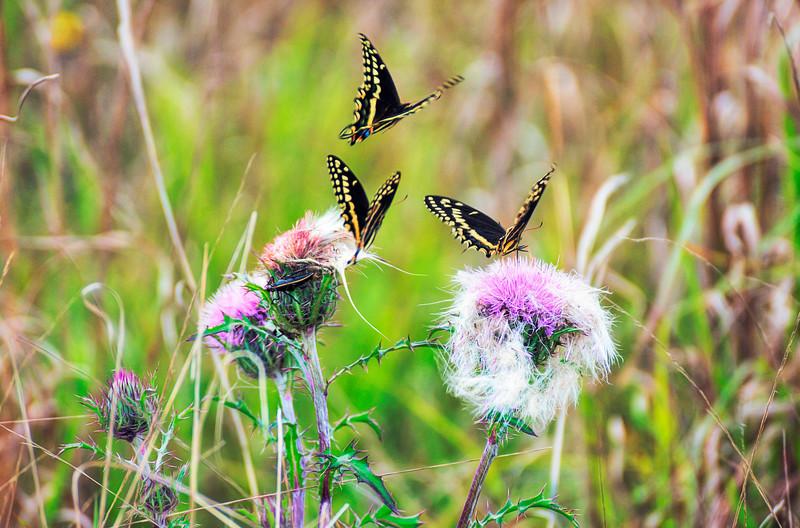 DSC00880 david scarola photography, 3 butterflies at Hungry Lands, Dec 2018
