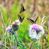 DSC00880 david scarola photography, 3 butterflies at Hungry Lands, Dec 2018