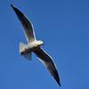 Gull, Pallarenda Beach, Townsville, Queensland.