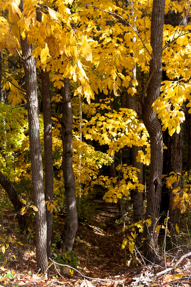 Yellow Path in the Woods