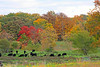Cattle Grazing in Fall