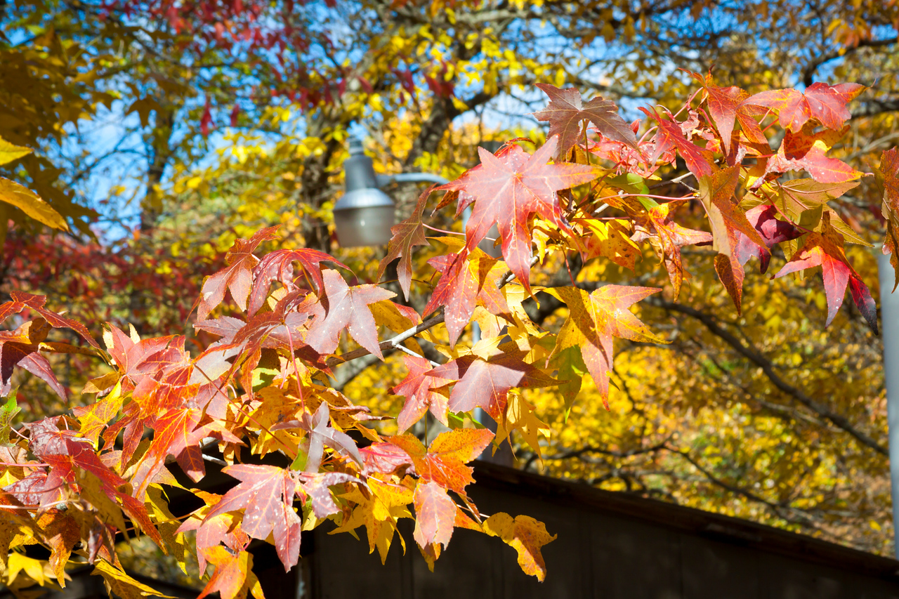 Maple Bough in Fall