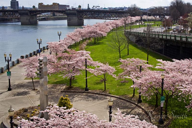 Cherry Blossom Bridge