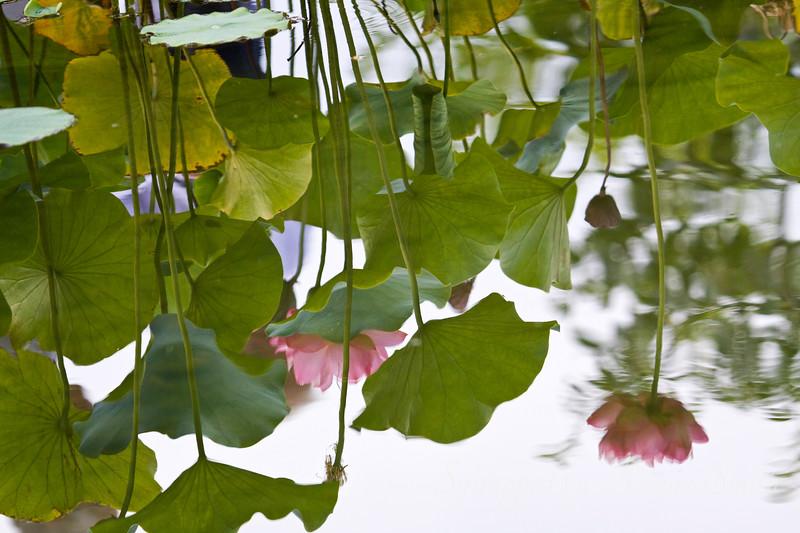 Lotus Dreams II