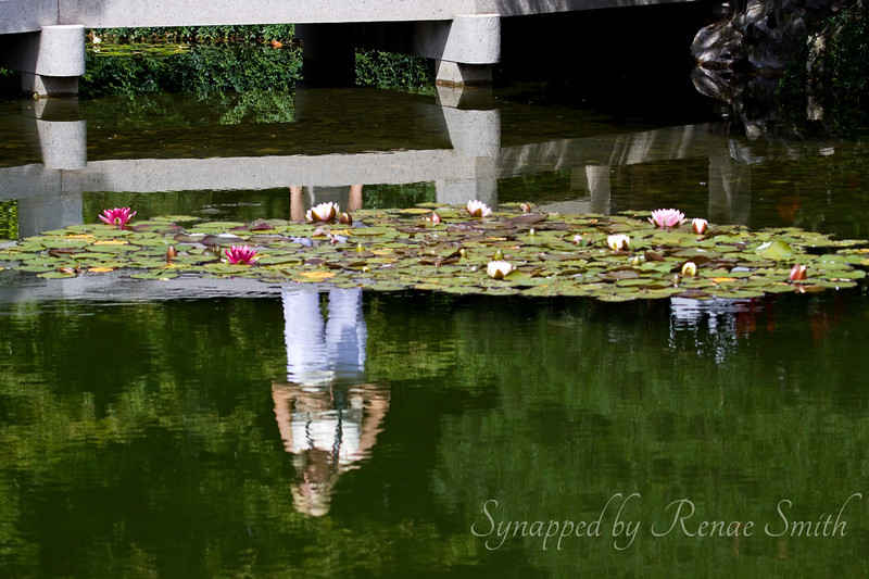 Reflections on a Water Lily