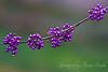 Vanishing Purple