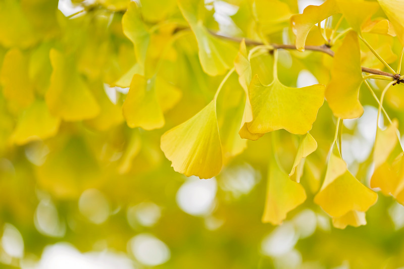 Gold'n Gingko Leaves