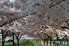 Cherry Blossom My World