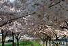 Cherry Blossom My World
