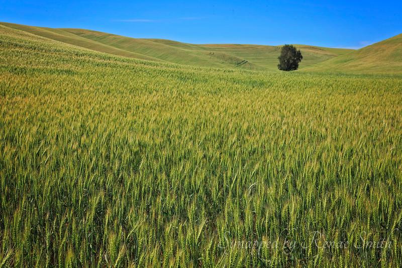 Wheat Fields of Washington