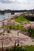 Portland Waterfront Cherry Blossoms