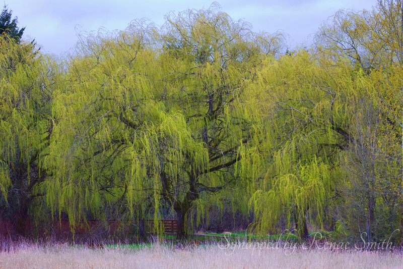Spring in the Willows