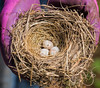 "An abandoned junco nest. <br>You can see a <b><a href=""http://www.synappedphoto.com/Other/The-Latest-Thing-2014/i-grrRfNr"">another nest image here</a></b>."