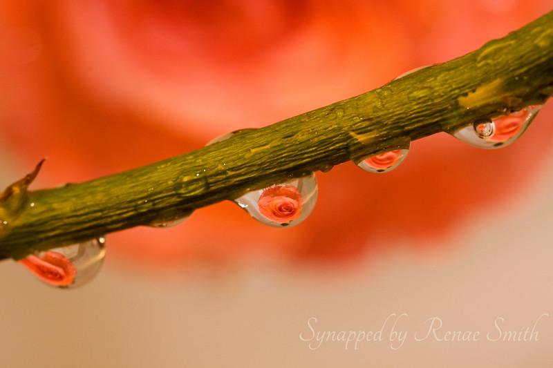 Peaches & Roses