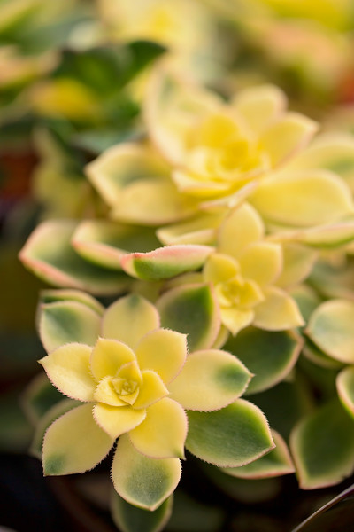 Succulents in Yellow