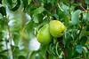 Green Bosc