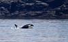 Orca (Killer) Whale!