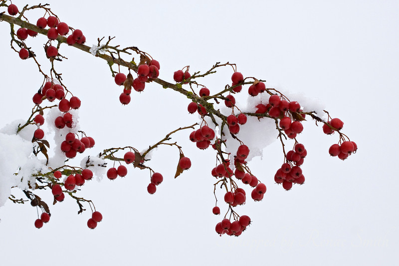 Berried Snow