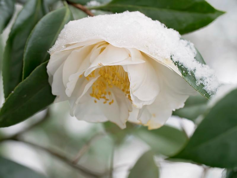 Camellia-sicle