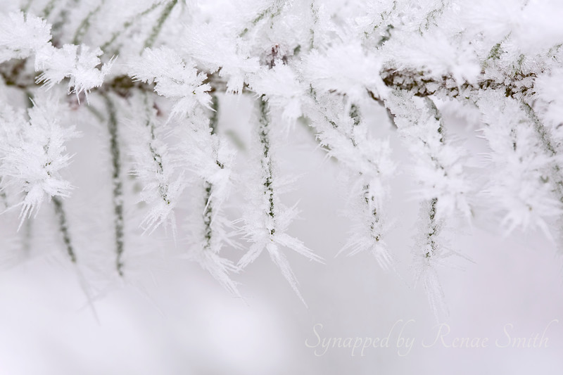 Hoary Tendrils  of Winter