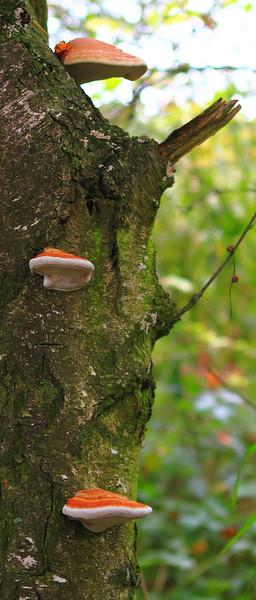 Ağaçtan çıkma mantarlar...  Brunnsumm, Holland
