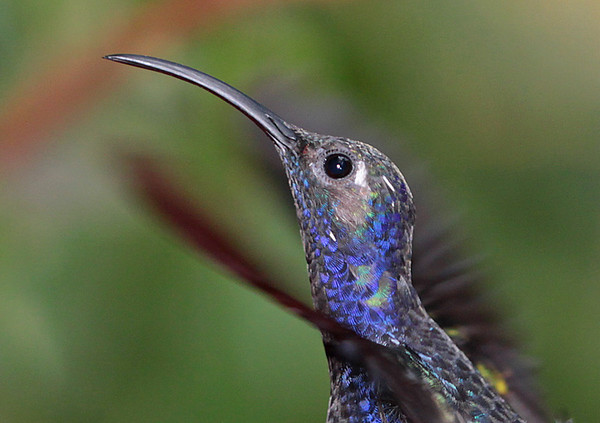 Violet Sabrewing Up Close