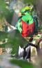 The Rare Resplendent Quetzal
