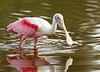 Portrait of a Spoonbill